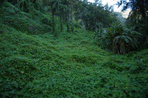 Cirque de Salazie :: Hell Bourg :: chou chou overgrowing slopes