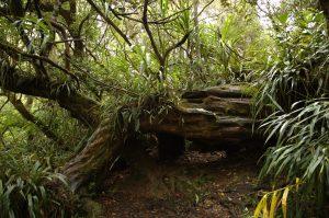Forêt de Bélouve :: la Reine des Tamarins