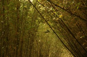 les Colimaçons :: the botanic garden site :: a bamboo alley