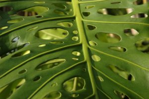 slideshow image les Colimaçons :: the botanic garden site :: perforated leaves