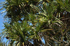 Sud Sauvage :: Cap Méchant :: the vacoa palms