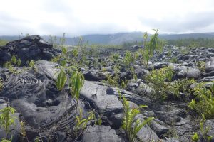 Sud Sauvage :: Grand Brûlé :: fresh lava, but already greened
